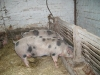 2008 Schweine