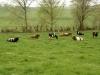 Unsere Schwarzbunten Niederungskühe auf de Weide